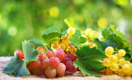 Grappes and leaves. royalty free stock photos