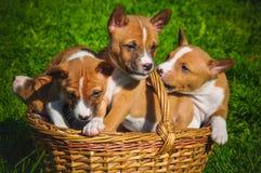 Grappig Basenji-hondenpuppy in de mand op groen gras stock afbeeldingen