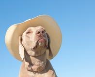 Grappig beeld van een hond Weimaraner in een cowboyhoed Stock Foto