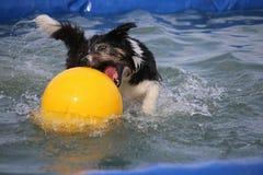 Grappig border collie met een bal in de pool Stock Fotografie