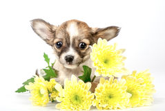 Grappig chihuahuapuppy in gele chrysantenbloemen Royalty-vrije Stock Foto