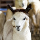 Grappig en cuties Alpaca Stock Foto's