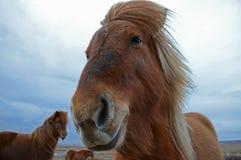 Grappig en gek Ijslands paard de donkerblauwe Ijslandse hemel stock afbeeldingen
