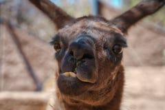 Grappig gezicht van bruine lama in close-up stock foto