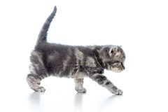 Grappig het lopen kattenkatje Royalty-vrije Stock Afbeeldingen