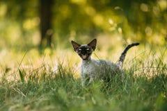 Grappig Jong Gray Devon Rex Kitten Meowing In Green-Gras Kortharige kat stock afbeeldingen