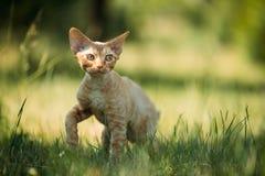 Grappig Jong Rood Ginger Devon Rex Kitten In Green Grass Kort-Ha royalty-vrije stock foto