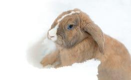 Grappig leuk konijn met blauwe ogen die in sneeuw zitten Stock Foto's