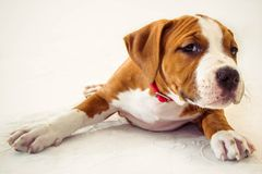 Grappig leuk puppy Amerikaanse Staffordshire Terrier op witte achtergrond, close-up royalty-vrije stock afbeelding