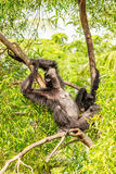 Grappig ogenblik van orangoetan twee Royalty-vrije Stock Afbeeldingen