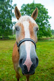 Grappig paard Stock Afbeelding