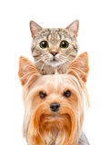 Grappig portret van een katten Schotse Rechte en terriër van Yorkshire Royalty-vrije Stock Afbeeldingen