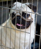Grappig pug puppy Stock Foto's