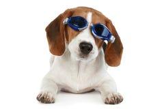 Grappig puppy in blauwe glazen Royalty-vrije Stock Afbeeldingen