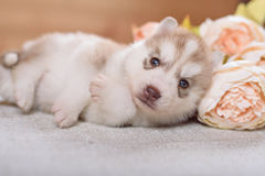 Grappig puppy met een boeket van bloemen Royalty-vrije Stock Foto's