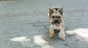 Grappig puppy Yorkshire Terrier in stoep in een park die in een camera kijken Stock Afbeeldingen