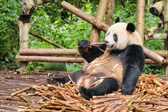 Grappig Reuzepanda eating bamboo Verbazend wild dier in bos royalty-vrije stock fotografie