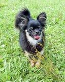 Grappig weinig hond die zich op het gras op een weide bevinden royalty-vrije stock foto's