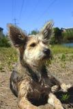 Grappig weinig hond met afluisteraar grappige hond Stock Afbeeldingen