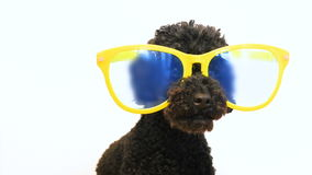 Grappig weinig hondpoedel die glazen dragen stock videobeelden
