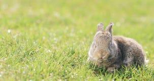 Grappig zit weinig grijs konijn in het groene gras en eet het stock video