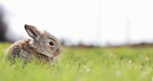 Grappig zit weinig grijs konijn in het groene gras Paashaas in de tuin stock videobeelden
