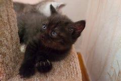 Grappig zwart Brits katje die op kattenhuis liggen en omhoog eruit zien Stock Afbeeldingen