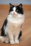 Grappig zwart-wit katje Stock Foto's