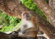 Grappige aap Royalty-vrije Stock Afbeelding