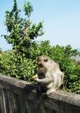 Grappige aap Stock Afbeelding