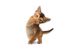 Grappige Abyssinian Kitty Close handtastelijk wordt zijn neus, Geïsoleerde Witte Achtergrond stock foto's