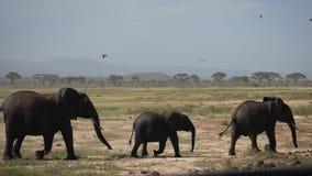 Is grappige Afrikaanse olifant drie volledig gesmeerd koel met zwarte modder om te blijven stock footage