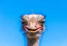Grappige Afrikaanse struisvogel Het dierlijke hoofd van ` s tegen een blauwe hemel stock fotografie