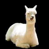 Grappige alpaca Royalty-vrije Stock Afbeelding