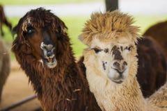 Grappige Alpaca die in het landbouwbedrijf, Thailand leven Royalty-vrije Stock Afbeeldingen