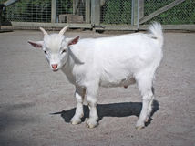 Grappige baby witte geit Royalty-vrije Stock Foto's