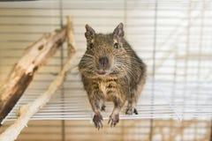 Grappige binnenlandse degueekhoorn in zijn huis Royalty-vrije Stock Afbeeldingen
