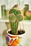 Grappige cactus Stock Foto