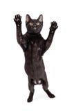 Grappige Cat Standing om op te springen Stock Afbeelding