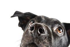 Grappige close-up van een leuke straathond die op een traktatie wacht Stock Afbeelding