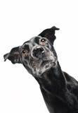 Grappige close-up van een leuke straathond die op een traktatie wacht stock fotografie