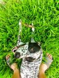 Grappige dalmatian op een werf Stock Fotografie