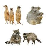 Grappige dieren: wasberen, koala's en meercats Geïsoleerd op witte waterverf stock foto