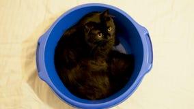 Grappige dierlijke video - grote zwarte Noorse boskattenzitting in een blauwe kom stock video