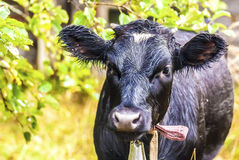 Grappige donkere zwarte met bruine koe die (na regen soppen) Royalty-vrije Stock Fotografie