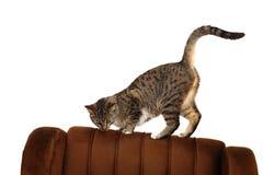 Grappige Europese kat Stock Foto's