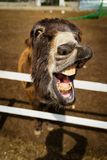 Grappige ezel die zijn mond tonen die om wortelen verzoeken stock foto's