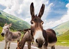Grappige ezel op weg stock fotografie