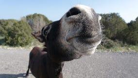 Grappige ezel op weg stock videobeelden
