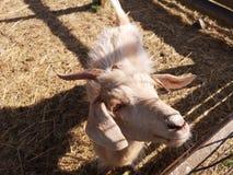 Grappige geit stock afbeelding
